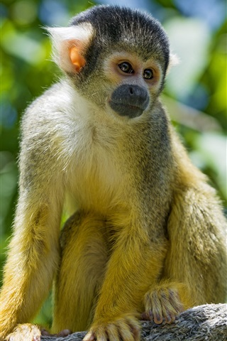 iPhone Wallpaper Squirrel monkey, rope, blurry background