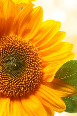 iPhone Wallpaper Sunflowers, yellow petals, orange background