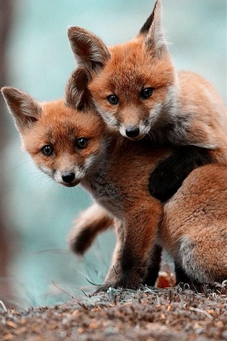 iPhone Wallpaper Two cute little foxes