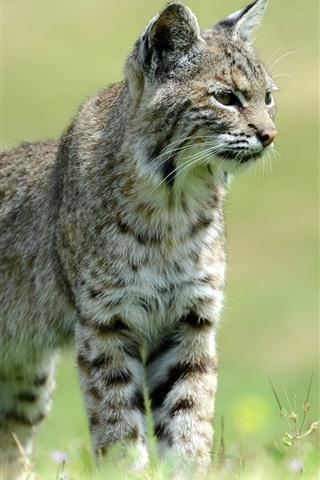 iPhone Wallpaper Wild cat, grass, bokeh