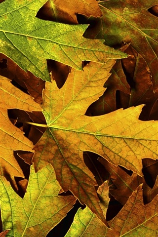 iPhone Wallpaper Yellow maple leaves close-up, autumn