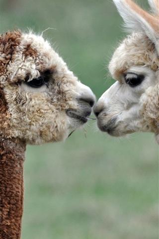 iPhone Wallpaper Alpacas love kiss