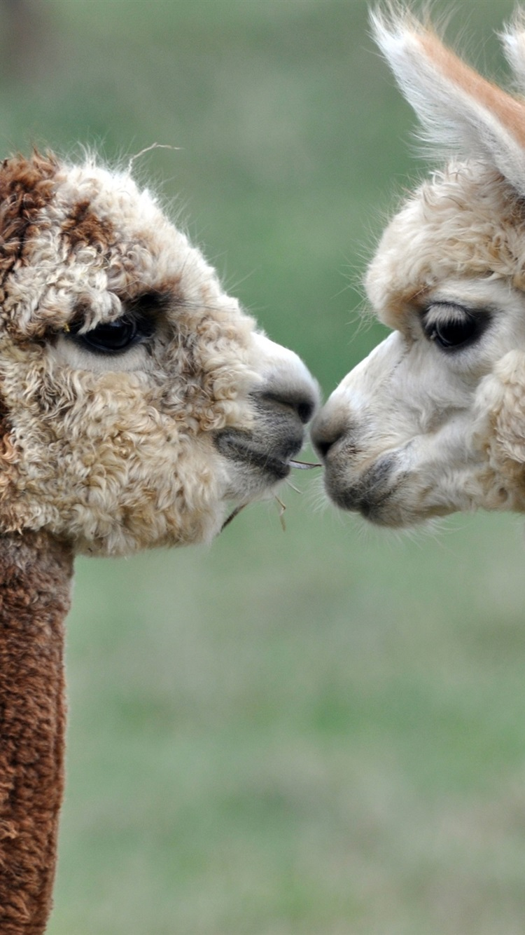 Alpacas Love Kiss 750x1334 Iphone 8766s Wallpaper