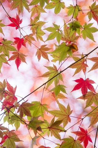 iPhone Wallpaper Autumn, twigs, maple leaves, green and red