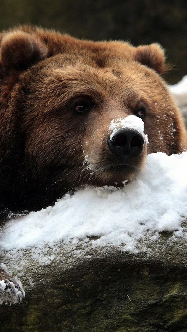 Braunbar Im Winter Schnee 640x1136 Iphone 5 5s 5c Se