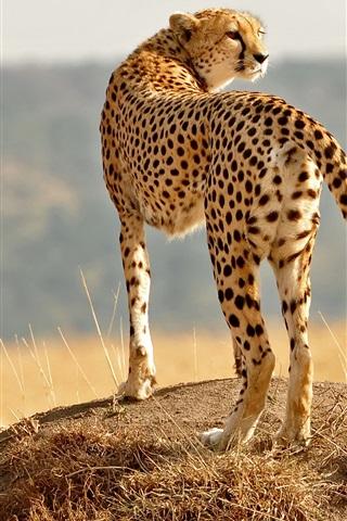 iPhone Wallpaper Cheetahs, cub, wild cat