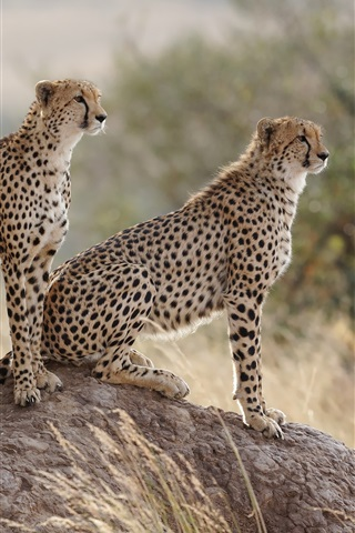 iPhone Wallpaper Cheetahs family, stone, grass