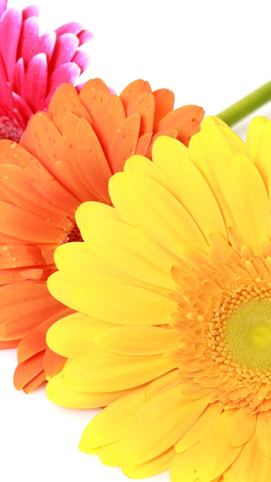 カラフルなガーベラの花 白い背景 1080x19 Iphone 8 7 6 6s Plus 壁紙 背景 画像