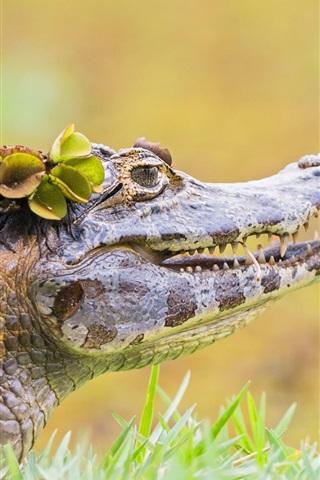 iPhone Wallpaper Crocodile in the grass