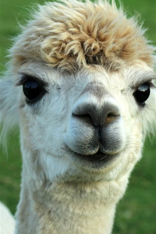 iPhone Wallpaper Cute animal alpaca