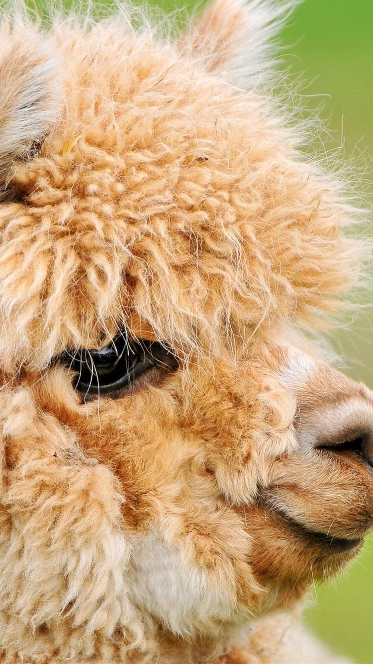 Lindo Marrón Alpaca La Cabeza La Cara 750x1334 Iphone 87