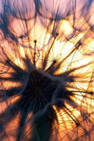 iPhone Wallpaper Dandelion at sunset, plants close-up