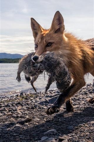 iPhone Wallpaper Fox hunting, lake, stones