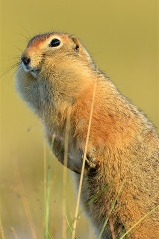 iPhone Wallpaper Funny animal, American gopher, tail