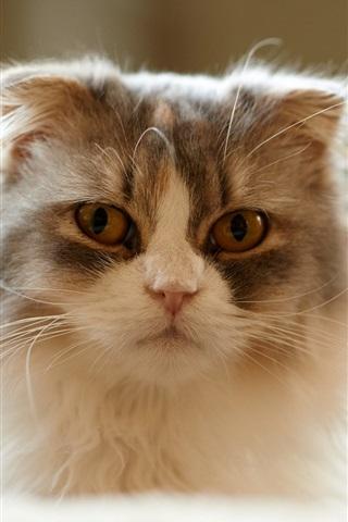 iPhone Wallpaper Furry kitten, home pet