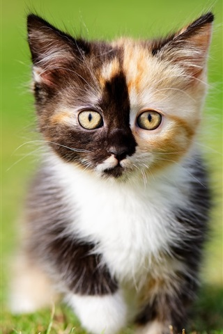 iPhone Wallpaper Furry kitten, three colors, grass