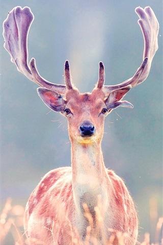 iPhone Wallpaper Grassland, deer, horns