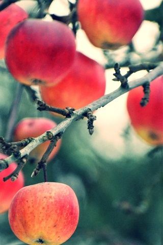 iPhone Wallpaper Harvest apples, tree, twigs