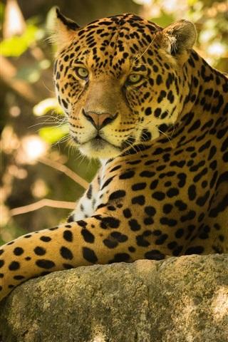 iPhone Wallpaper Jaguar rest, stones, forest