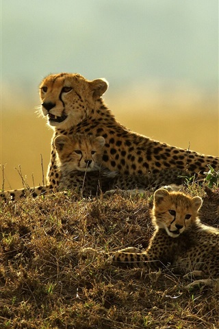 iPhone Wallpaper Leopard rest, mother and cubs