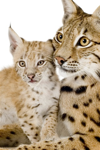 iPhone Wallpaper Lynx mother and cub, white background