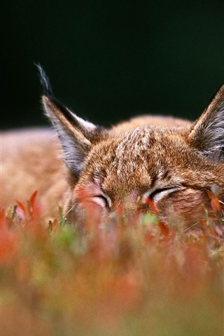 iPhone Wallpaper Lynx sleep on grass