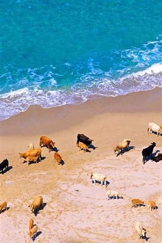 iPhone Wallpaper Many cows, beach, sea