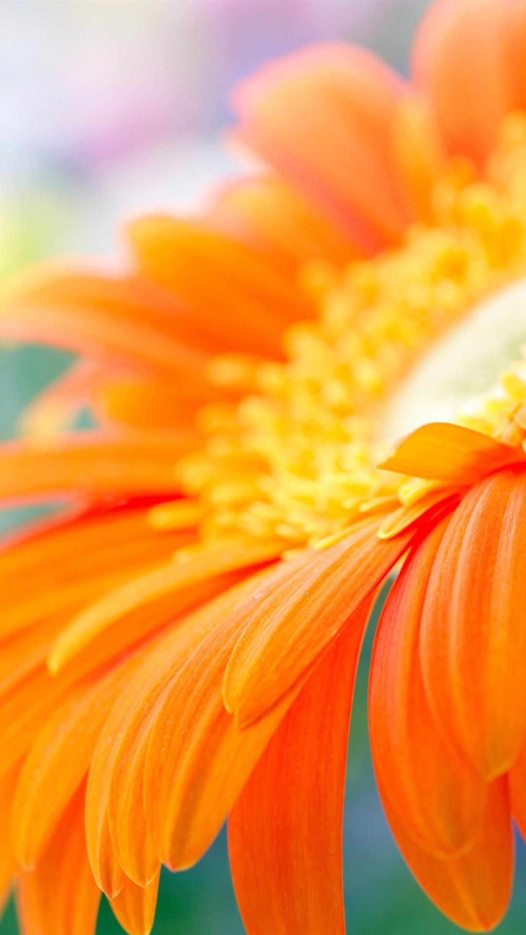 水中のオレンジガーベラの花 1080x1920 Iphone 8 7 6 6s Plus 壁紙
