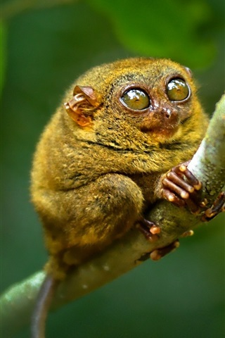 iPhone Wallpaper Philippine tarsier, monkey