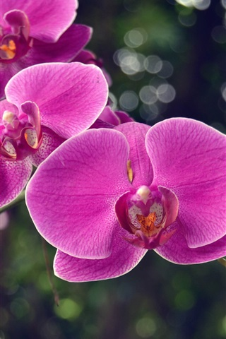 iPhone Wallpaper Pink phalaenopsis, orchids