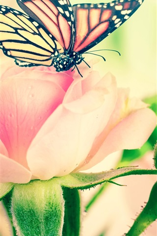 iPhone Wallpaper Pink rose flowers, butterfly, leaves, buds