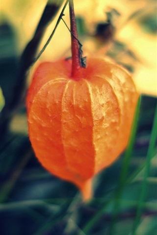 iPhone Wallpaper Plants close-up, physalis, Chinese lantern tree