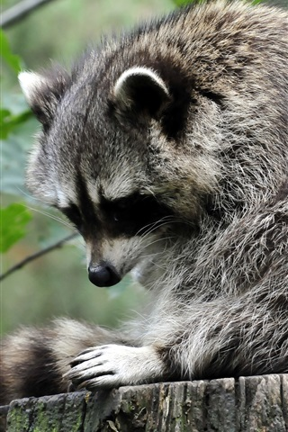 iPhone Wallpaper Raccoon standing at stump