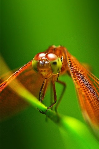 iPhone Wallpaper Red dragonfly close-up, wings, green background