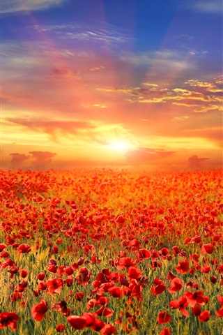 iPhone Wallpaper Red poppy flowers field, sunrise