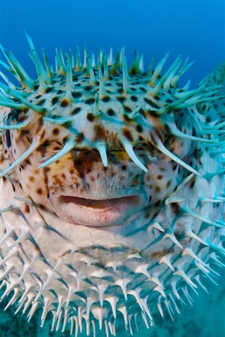 iPhone Wallpaper Sea hedgehog, porcupine fish
