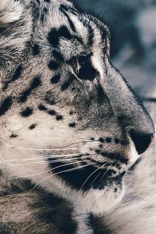 iPhone Wallpaper Snow leopard photography, predator, face