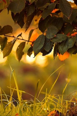 iPhone Wallpaper Tree, leaves, glare, grass, autumn