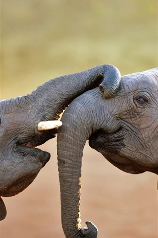iPhone Wallpaper Two elephants playful