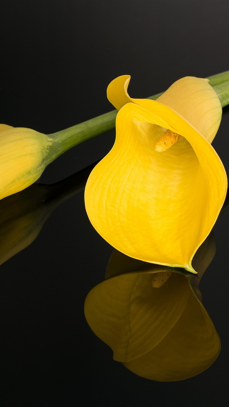 yellow calla lily black background 750x1334 iphone 8 7 6