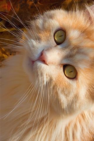 iPhone Wallpaper Yellow eyes cat look up, autumn