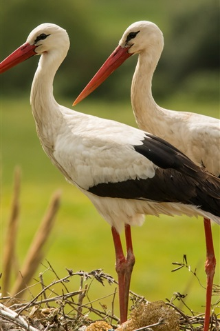 iPhone Wallpaper A pair storks