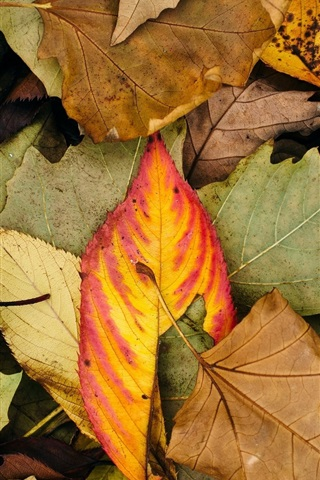 iPhone Wallpaper Autumn leaves, colors