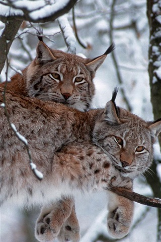 iPhone Wallpaper Bavarian Forest National Park, Germany, trees, lynx, winter, snow