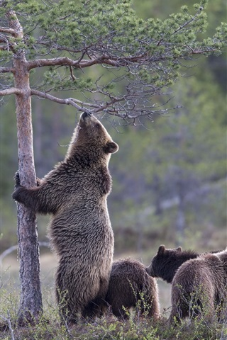 iPhone Wallpaper Bear want to climb tree, cubs, grass