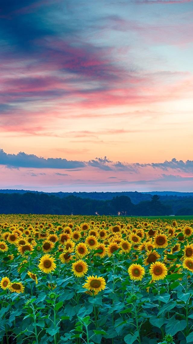 Wallpaper Beautiful Sunflowers Field Evening Sunset