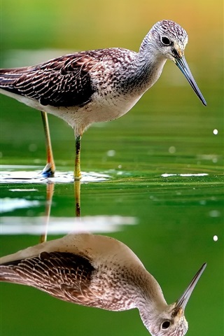 iPhone Wallpaper Bird in the water, reflection
