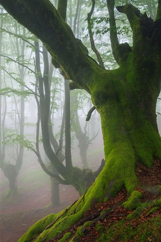 iPhone Wallpaper Biscay, Spain, trees, moss, fog, spring