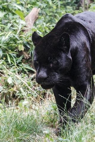 iPhone Wallpaper Black jaguar walking, grass, predator