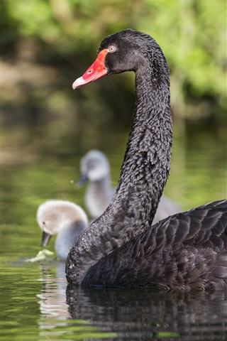 iPhone Wallpaper Black swan in pond
